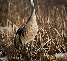 Lone Sandhill Crane 1 by Thomas Young