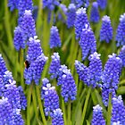 Muscari botryoides - Keukenhof by Jo Nijenhuis
