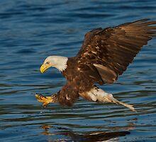 Bald Eagle by Matthew Elliott