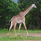 Giraffe - Masai Mara - Kenya by Charuhas  Images