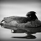 Tufted Duck  by Lilian Marshall