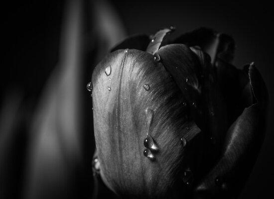 Wet Tulip Black and White by Thliii