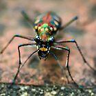 Tiger Beetle by Kelvin Won