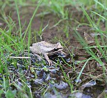 Eastern Common Froglet by leesdanielt