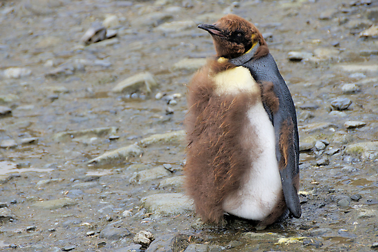 King Penguin Chick moulting in South Georgia by Geoffrey Higges