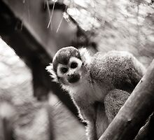 squirrelmonkey by nicholas provost