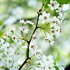 Pear Blossoms by 319media
