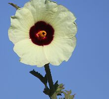 Hemp-leaved Hibiscus by Antionette