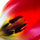Tulip Porn by Cathy Donohoue