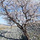 Almond Tree in Blossom by SpainBuddy