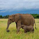 Baby Elephant - Masai Mara - kenya by Charuhas  Images