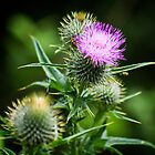 Wild Thistle by Simon Osbaldeston