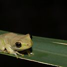 Squirrel Treefrog  by Michael L Dye
