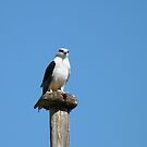 Black Shouldered Kite by Anne van Alkemade