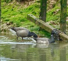 Brent Geese by VoluntaryRanger