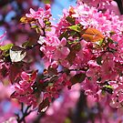 Pink Spring Blossoms by hummingbirds