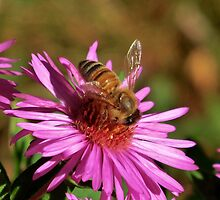 Domestic Honey Bee by Kathleen M. Daley