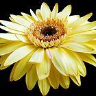 beauty yellow gerber by elvira1