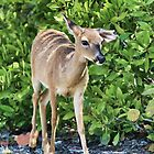 Key Deer Cuteness by Deborah  Benoit