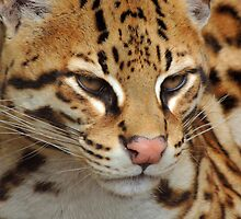 Ocelot 02 by Magic-Moments