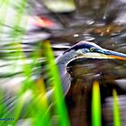 Great Blue Heron by Caleb Ward