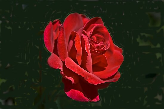 Mr. Lincoln - Still #1 Red Rose by David DeWitt