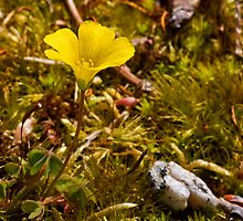 Yellow Wood Sorrel by Otto Danby II