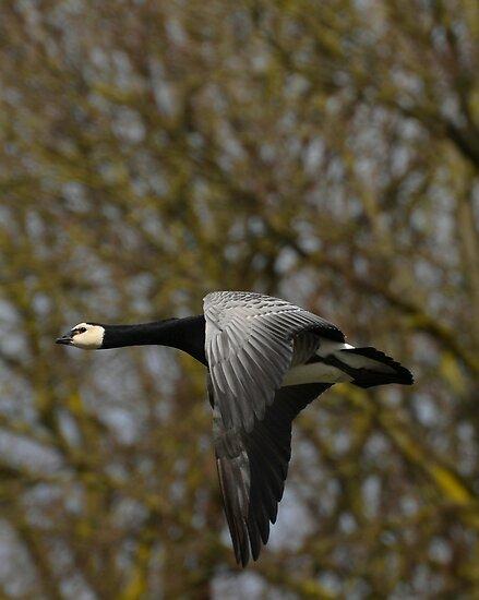 Barnacle goose in flight by Peter Wiggerman