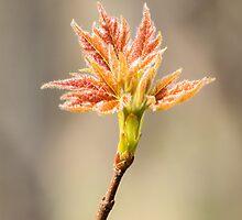 Budding Maple Leaf in Southwestern Michigan by Robert Kelch, M.D.