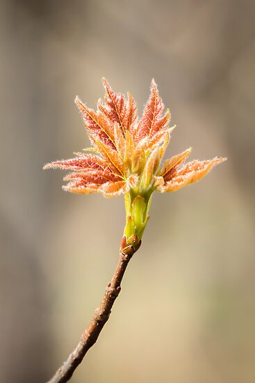 Budding Maple Leaf in Southwestern Michigan by Robert Kelch, M.D.