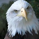 Bald Eagle by Veronica Schultz