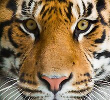 Tiger Stare by Stephanie B