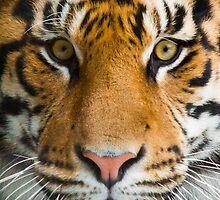 Tiger Stare by Stephanie B