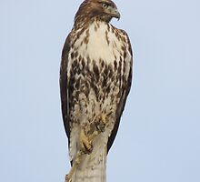 Red Tailed Hawk (Buteo jamaicensis) by Rupa