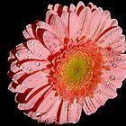 076-pink gerber by elvira1