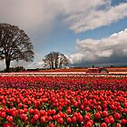 Tulip Farm by franceshelen