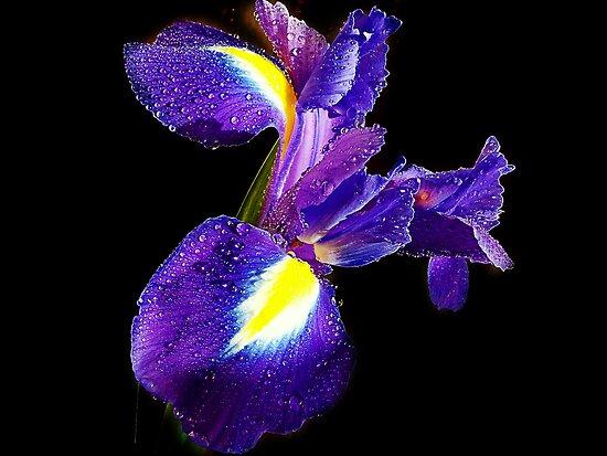 077-blue iris by elvira1