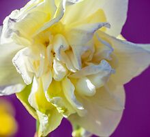 Daffodil by Cathy Donohoue
