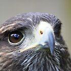 Harris Hawk by Ralph Goldsmith