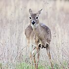 Deer by Amaelanders