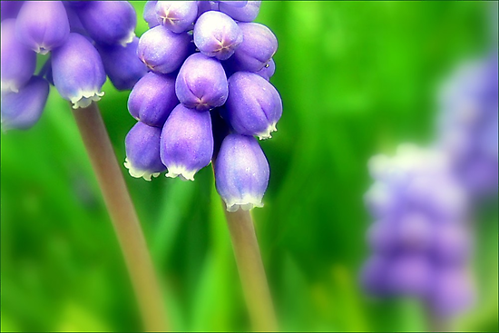 Magical Muscari by paintingsheep