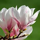 Magnolia in bloom by annalisa bianchetti