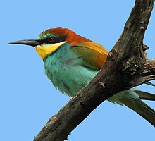European bee-eater by jozi1