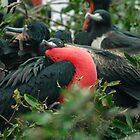 Colony of Magnificent Frigate Birds - Ecuador by Paul Wolf