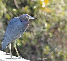 Little Blue Heron by Jeff Ore