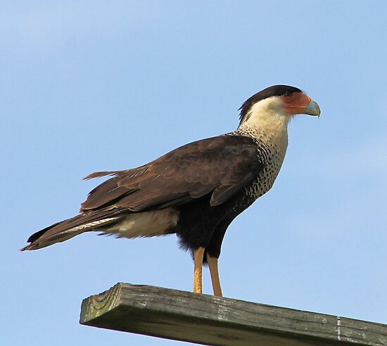 Caracara by SuddenJim