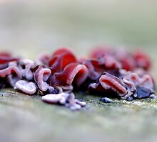 Red Jelly fungus by Helena Bolle