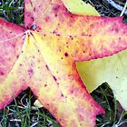 Red Yellow leaves in Warkworth, New Zealand by amypie71
