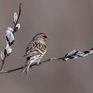 Common Redpoll by Bill McMullen