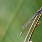 Damselfly III by Adam Le Good